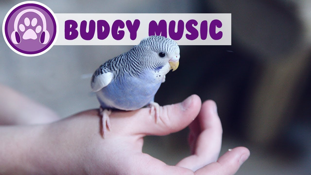 Relax My Budgie - Relaxing Music for Budgies!