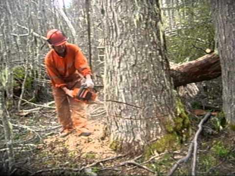 C mo talar un rbol con motosierra trabajos forestale for Como talar un arbol