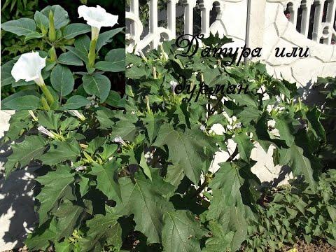 Луковицы и клубни цветов, купить посадочный материал
