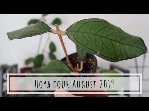 Hoya Tour: August 2019