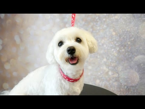 Grooming Guide - How To Groom A Maltese #16