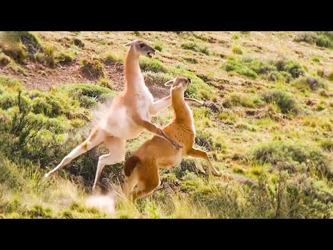 Best Of South American Animals | Top 5 | BBC Earth
