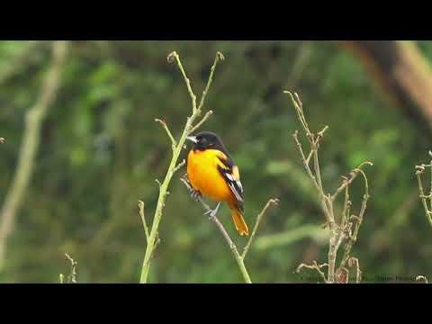 Beautiful Birds of Costa Rica: My Backyard - Episode 1 (toucans, falcons, kiskadee and more)