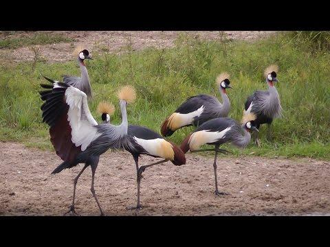 Grey Crowned Crane Courtship Dance