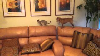 Lily  Singapura Kitten Rearranging the Paintings (Smallest Cat Breed in the World)