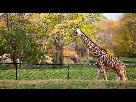 2017 Giraffe Study at Cleveland Metroparks Zoo