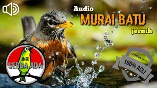Gambar cover MEMANCING LAWAN!!! PEMIKAT MURAI BATU AMPUH COCOK UNTUK MASTERAN DURASI PANJANG TANPA JEDA