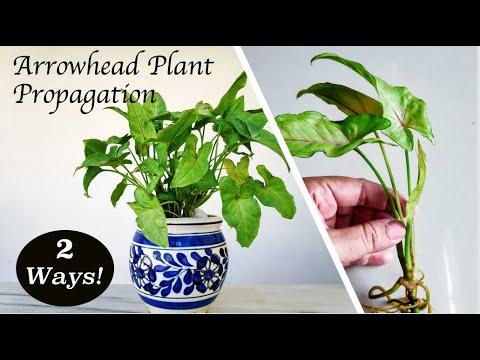 Syngonium podophyllum Propagation in Soil and Water By Stem Cuttings | Arrowhead Plant Propagation