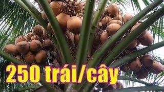 Gambar cover Bất ngờ với giống dừa siêu nhiều trái ,cây dừa 250 trái một cây