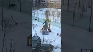 Выгул собак на территории школы. Новый Уренгой