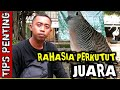 Rahasia Perkutut Juara Tips Penting  Mp3 - Mp4 Download