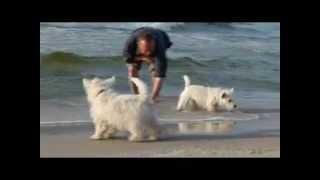 Westie Welpen An Der Ostsee