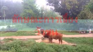 Repeat youtube video ภูมิปัญญาท้องถิ่น วัวชนวัวพันธุ์ดี