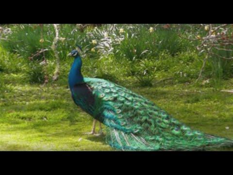 Peacock dance || Beautiful Peacock Sound - YouTube