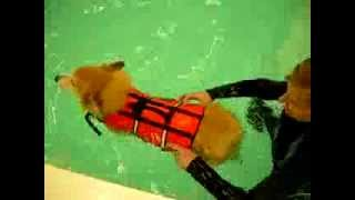 Corgi Llyr With Degenerative Myelopathy Swimming