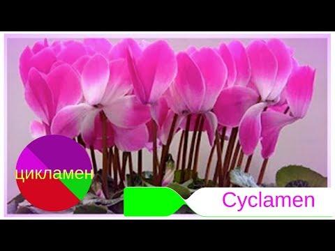 Моя маленькая хитрость:как заставить ЦИКЛАМЕН (Cyclamen) цвести !!! Уход в домашних условиях