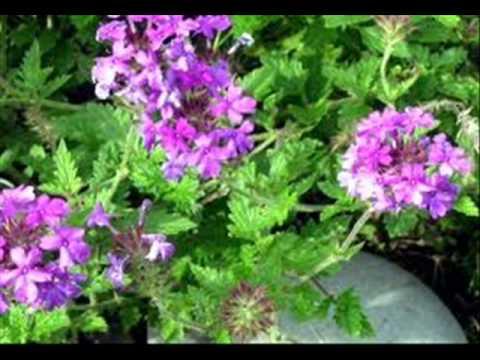plantas medicinales del peru youtube On historia de las plantas ornamentales
