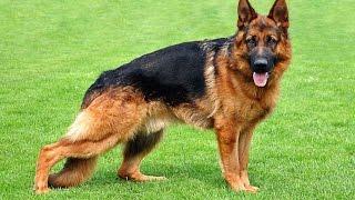 "Хочу собаку. Немецкая овчарка | Телеканал ""Мама"""