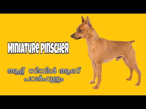 Miniature Pinscher, Min Pin Dogs In Malayalam