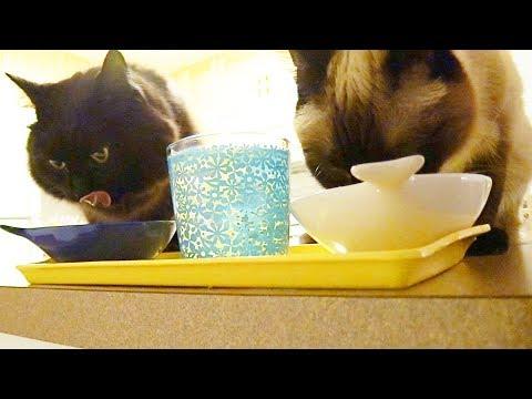 ねこの食べるぴちゃ音が凄い Theo and Thea making big noise during dinner
