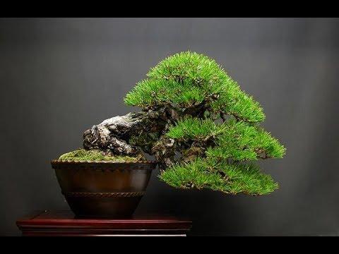 Semi Cascade Style Bonsai Style Series Youtube
