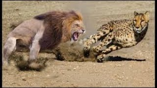 Lion Rescue Baby Impala From Cheetah Hunt | Animals Save Other Animals