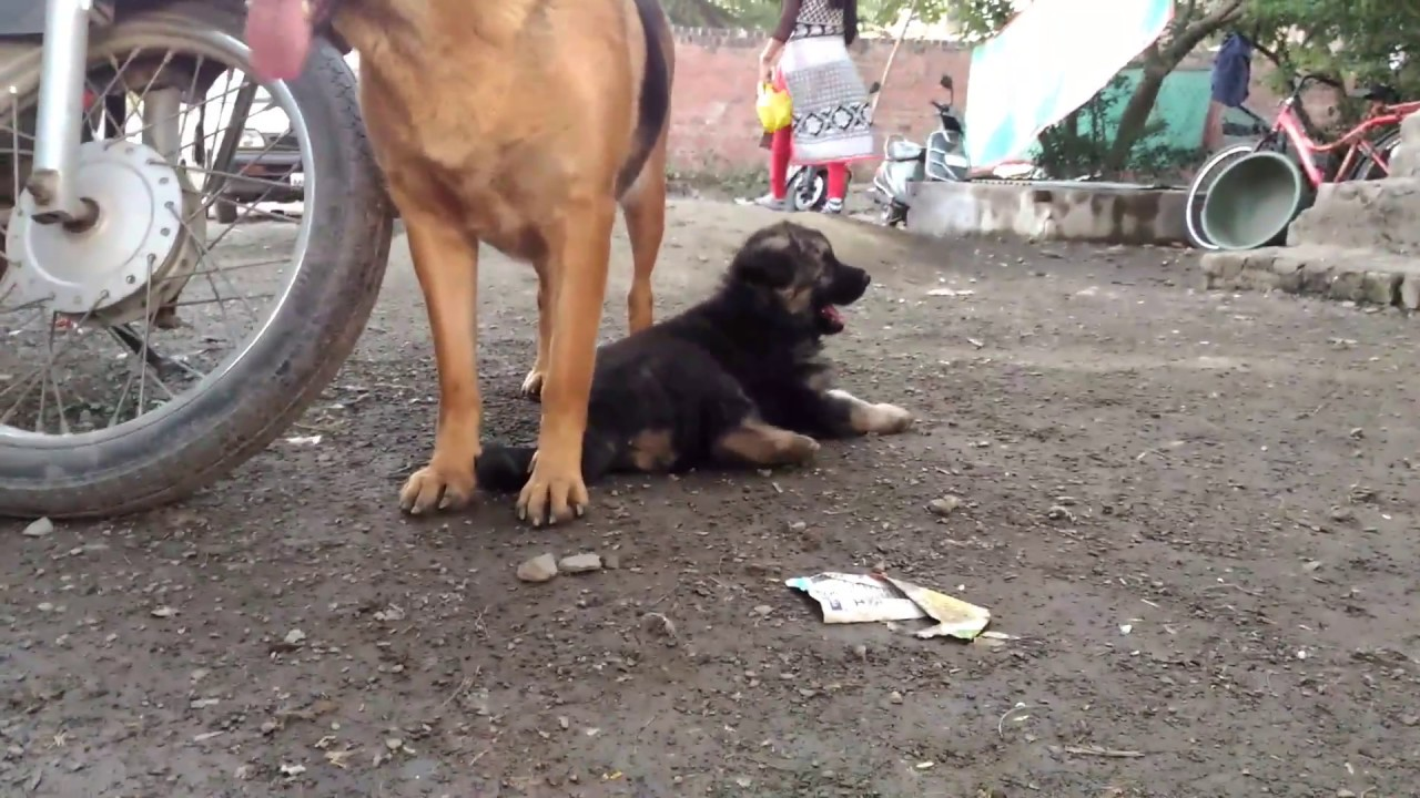 9258da156 Show Quality German Shepherd Double Coat Male Puppy Available For ...