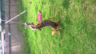 My dog Rahjah trying to kill my old shoe :) And blaze the family dog being camera shy lol :)