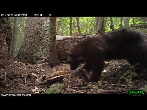 Montana Female Wolverine: Credit NRCC/Baughan