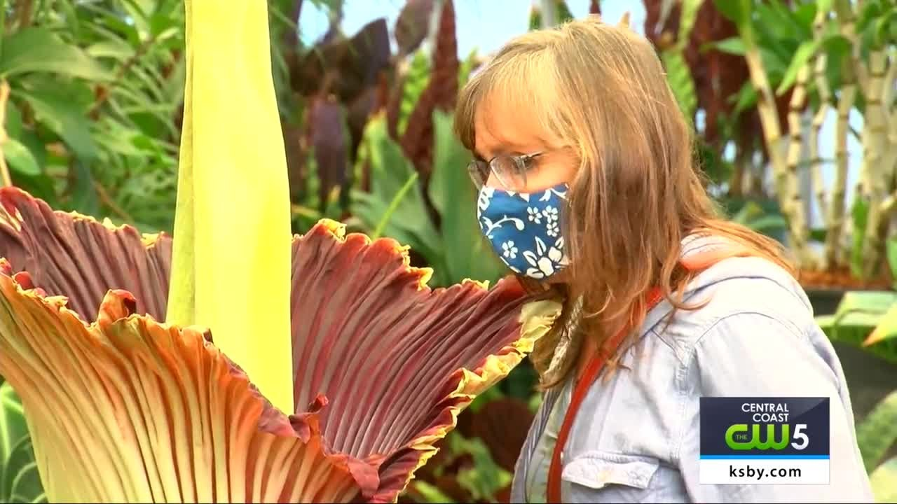 Rare Corpse Flower Blooms At Cal Poly Youtube