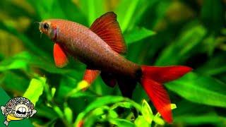 rainbow-shark-care-guide-so-sharky-aquarium-co-op