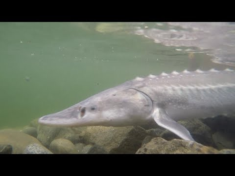 STURGEON FISHING FROM THE BANK