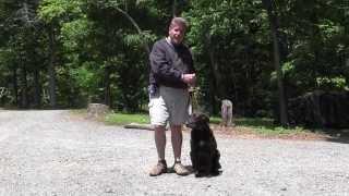 Banoffee   Chocolate Lab Dog Training   Winston Salem Nc