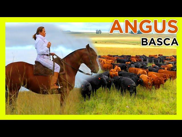 Seleção Angus & Brangus BT Basca