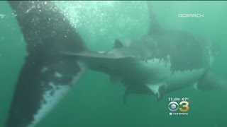 Mary Lee The Shark Headed To New Jersey For Memorial Day Weekend