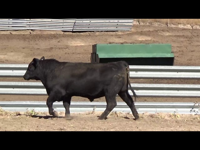 Connealy Angus Lot 3