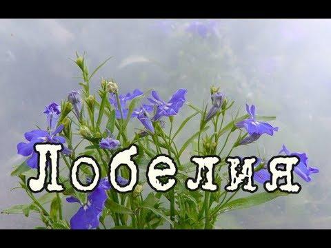 ЛОБЕЛИЯ – ампельное растение для СЕВЕРНЫХ БАЛКОНОВ. Уход и разведение в домашних условиях
