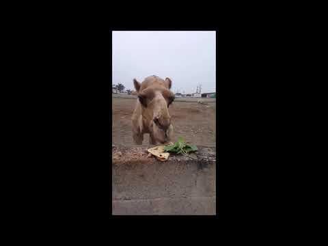HUGE CAMEL eating ROTI in DESSERT !