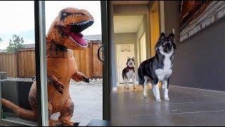 T-Rex Burglar PRANK On My Huskies!