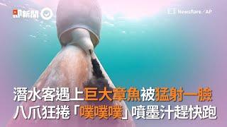 潛水客遇上巨大章魚被噴墨汁猛射一臉|梅諾卡島|西班牙|墨囊