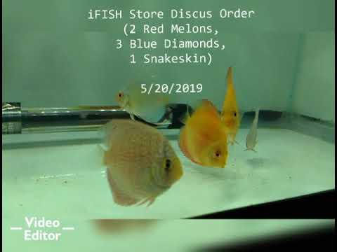 IFISH Store Discus Fish (1 Week Update)