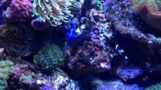 Stary blenny in Nano reef aquarium