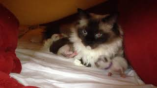 Ragdoll cat Allweneedis Muse with her 8 days old kittens.