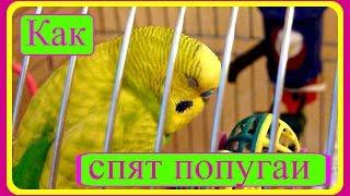 Как спят попугаи//Спокойной ночи,Тоша!//Волнистый попугай//Птицы