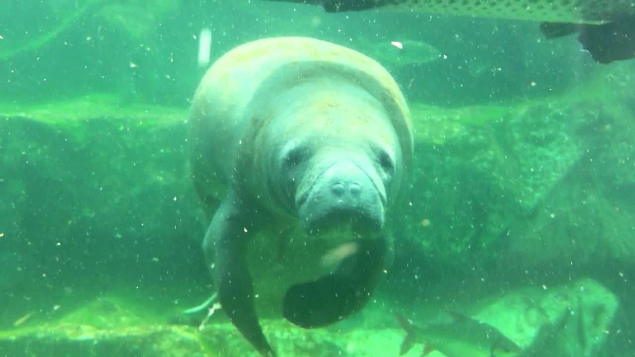 Lamantin Zoo de Beauval - YouTube