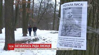 На Київщині домашня лисиця втекла з дому
