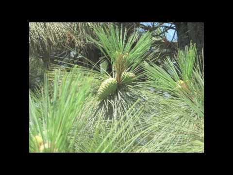 60 Second Forester- Ponderosa Pine
