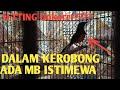 Perawatan Murai Batu Lepas Trotol Langsung Gacor Mb Dorong Ekor Cabul  Mp3 - Mp4 Download