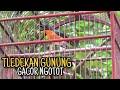 Tledekan Gunung Gacor Nyuling Untuk Masteran Dan Pancingan  Mp3 - Mp4 Download