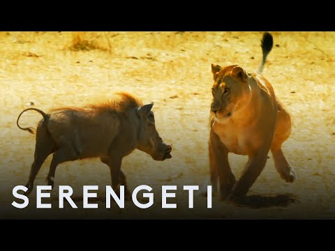 Kali the Lioness Fights Warthog |  Serengeti: Story Told by John Boyega | BBC Earth